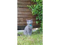 Missing kitten-Gandalf-luton lu1 3ut