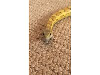 2 Year old female Cornsnake (very friendly) for sale
