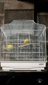 2 yellow canarys and cage for sale