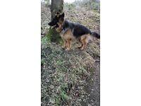 18 Month old German Shepherd For sale