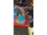 Girl hamster for sale