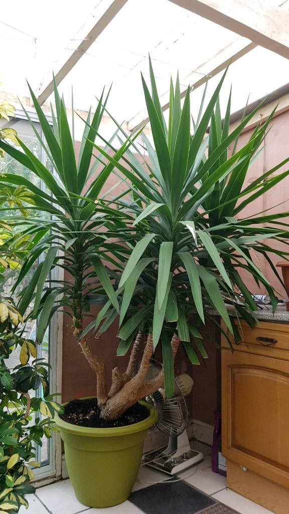 Very Large Yucca Plant In Roath Cardiff Gumtree