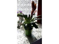 Flaming Sword Bromelaid (Viresea carinata) - Generally healthy - with green ceramic pot