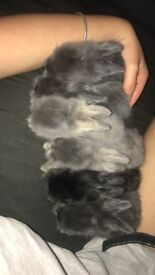 4 baby Lionhead rabbits for sale