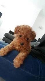 Gorgeous little Apricot Toy Poodle boy