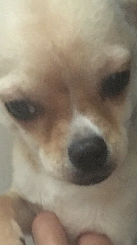 Chihuahua boy puppy 5 months old kc reg