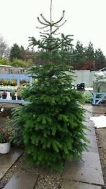 Xmas trees award winning (quality Nordman firs)