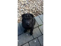 1 gorgeous Shar Pei girl available now