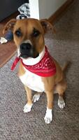 1 year Boxer Mix needs new home