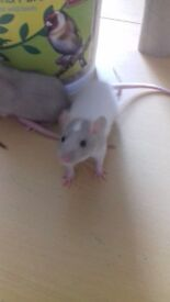 Two for £20 baby rats