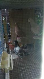 Tippler pigeons and diamond doves