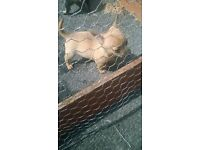 t cup chihuahua puppys for sale