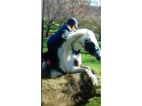 STUNNING BLUE/RED AND WHITE MARE FOR SALE