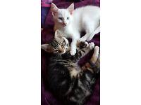 2 left from litter off 5 absolutely beautiful half ragdoll half Persian kittens