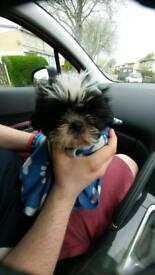 Full pedigree Shitzu girl pup