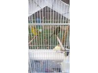 Canary bird looking for loving home