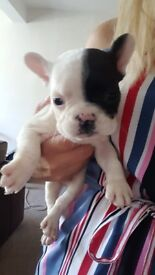 4 white with black markings french bulldog