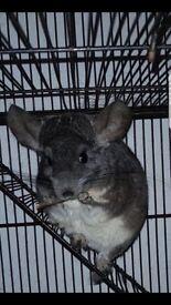 Chinchillas & cage