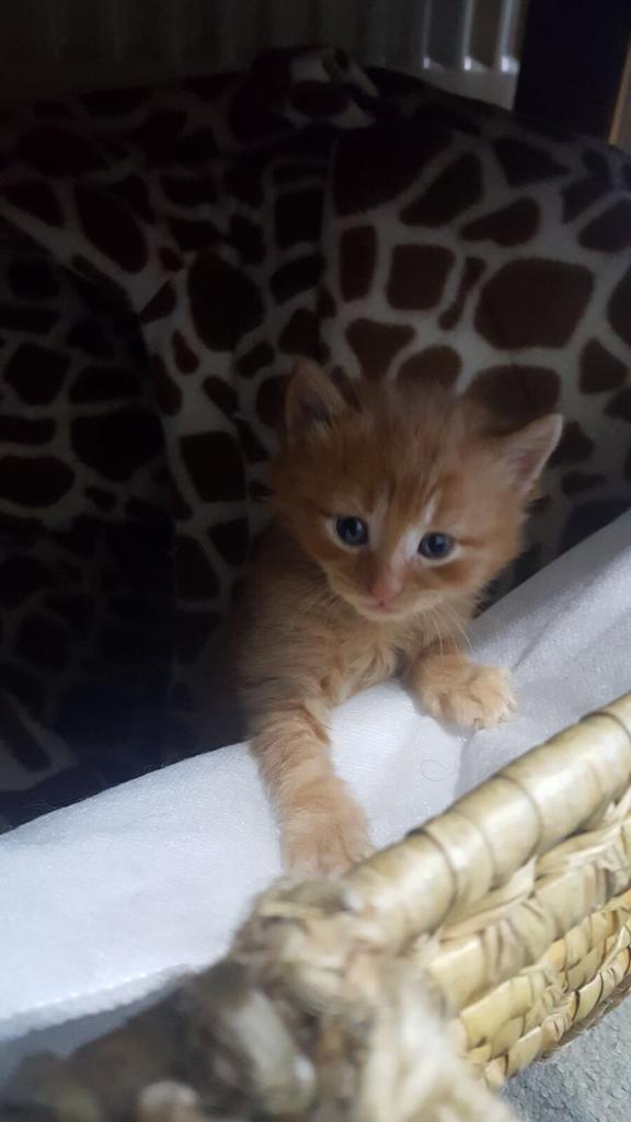 (Sold)Beautiful Leo kitten