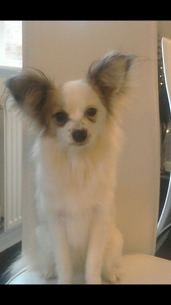 Papillon Dogs For Sale In Woolton Merseyside Gumtree