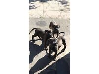 Presa canario Puppies **READY NOW** very loving & activeFull pedigree papers.
