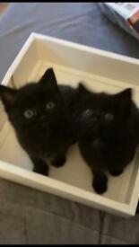 2 beautiful black male kittens