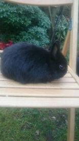 Black Self Netherland Dwarf Buck/Boy Bunny Rabbit