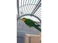 barraband parrot superb parrot