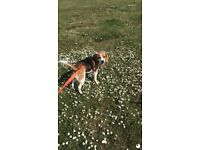 Beagle - looking for forever home