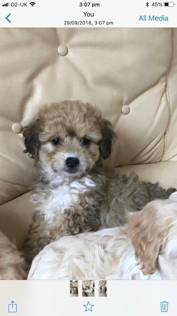 lhasa apso puppy for sale in essex