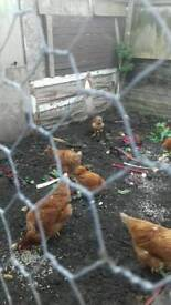 Chickens hens