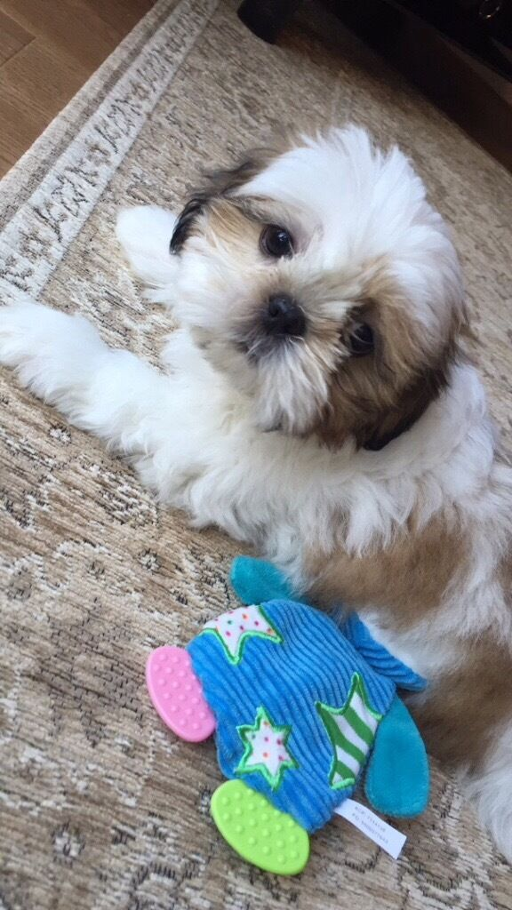 Shih Tzu Puppy 10 Weeks Old In Burgess Hill West Sussex Gumtree