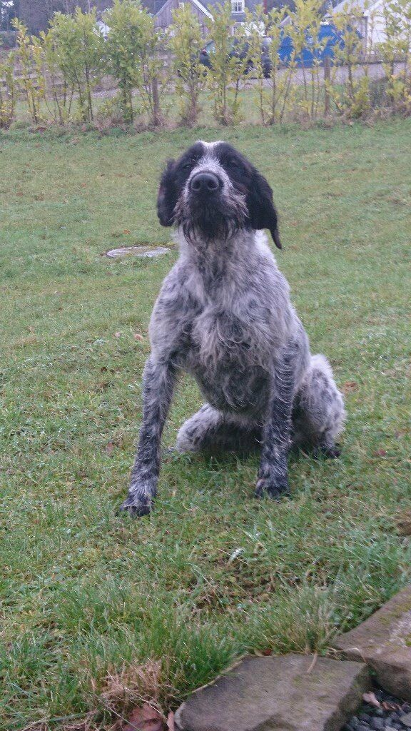 Wire haired Pointer