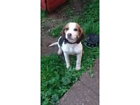 Beagle puppy bitch for sale