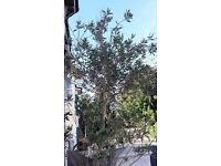 Very Large Olive Tree in bronze glazed pot 2.6M Tall