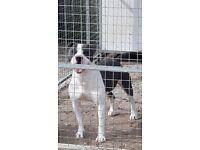 KC reg Staffordshire Bull Terrier