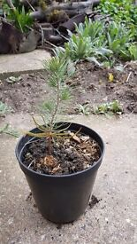 Pine tree from edible pine nuts