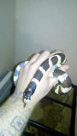 Banded king snake with large exo terra