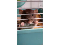 2 rats for adoption due to change in cicumstances