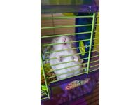 Winter white dwarf hamster with cage