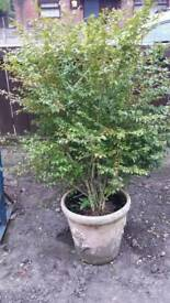 GARDEN SHRUB - IF READING THIS IT WILL STILL BE FOR SALE