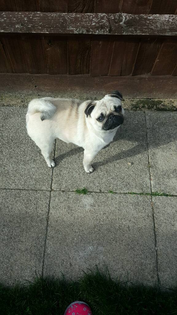 1 year old pug for sale.