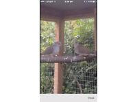 pair diamond doves