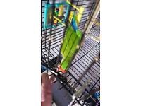 Tame budgies for sale