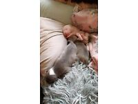 American bulldog X Blue staff puppies 5 star homes only