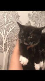 black and white X british Shorthair Kittens