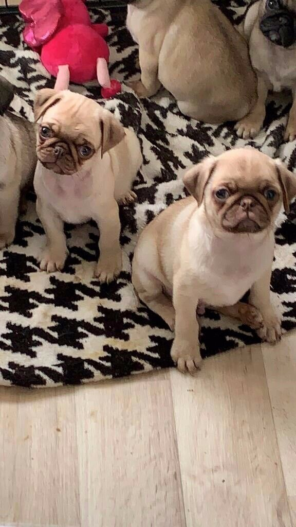 Pug Puppies Carrying Chocolate Sable and Blue for Sale | in Stretton,  Staffordshire | Gumtree