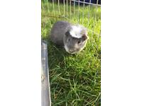 Male Guineapig for sale