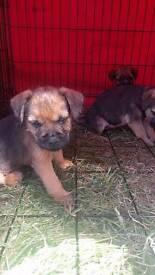 Boarder terriers