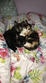 Lovely 10 week old kittens
